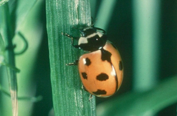 Coccinella novemnotata, photo by W Louis Tedders (USDA-ARS)