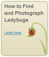 How to Find and Photograph Ladybugs