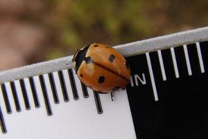 ladybug on ruler